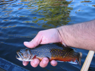 Brook_Trout02