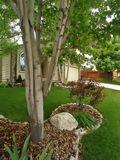Front yard aspens